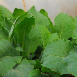 lepidium latifolium rompepiedras